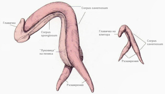 penis and clitoral anatomy